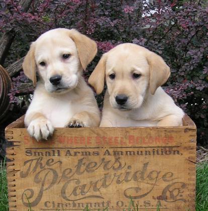 TLC Labradors