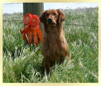 SkyRiver Goldens: Quality Field Bred Goldens