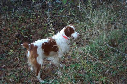Ruffwood Brittanys & Bird Dog Training