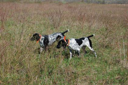 von Solilos Deutsch Kurzhaars/ German Shorthairs