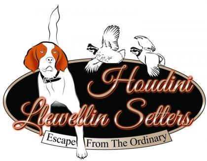 Houdini Llewellin Setters, LLC