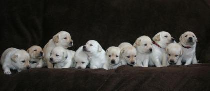 Marshland Labradors