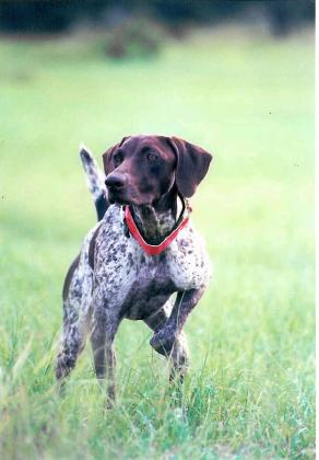 Ricochet German Shorthaired Pointers