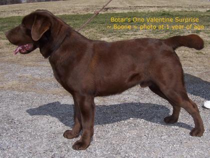 BOTAR Labradors