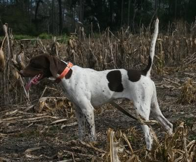 Grouse Hill German Shorthairs