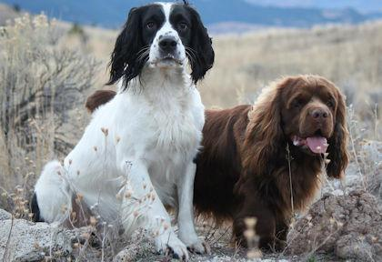 Hellfire Field Bred English Springer Spaniels
