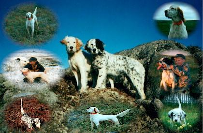 Admirals English Setters