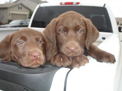 Lyberger Labradors