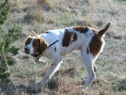FireMark Brittany Kennel
