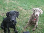 Unique Labradors