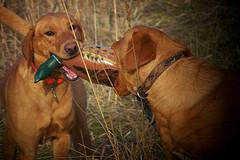 Scatter Creek Labradors