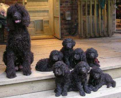 Ballyhoo Irish Water Spaniels