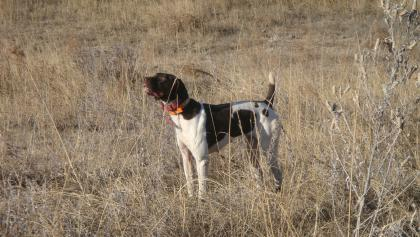 Cedar Creek Gun Dogs