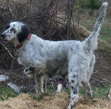 Deadwater Gun Dogs of New England