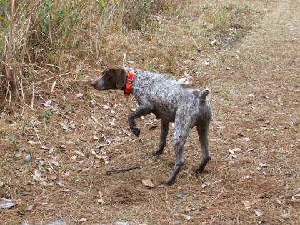 Hand German Shorthaired Pointers