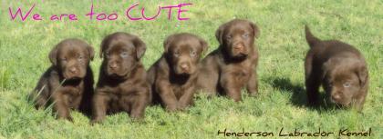 Henderson Labrador Kennel