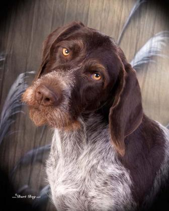 DJ Bar Ranch German Wirehair Pointers