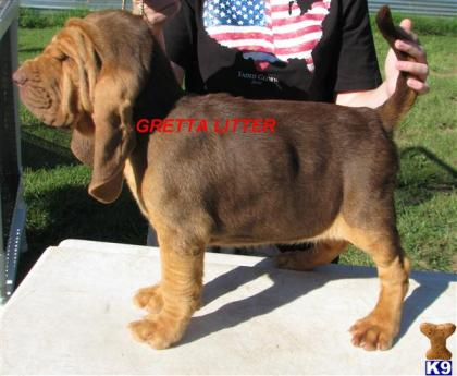 Top Dog Bloodhounds