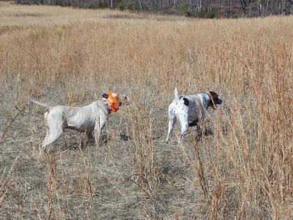 Clear Creek Gun Dogs