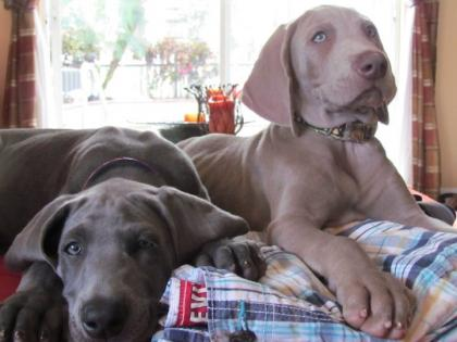 wiregrass weimaraners, blue and silver