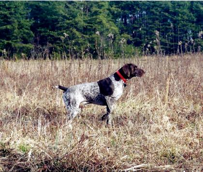 Brushy Mountain German Shorthairs