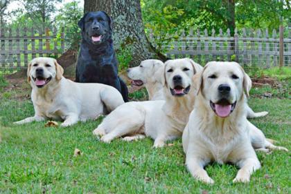 Katons Labradors