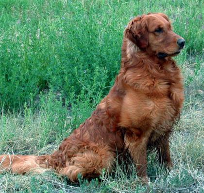 Sungold Goldens