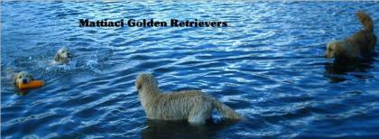 Mattiaci Golden Retrievers