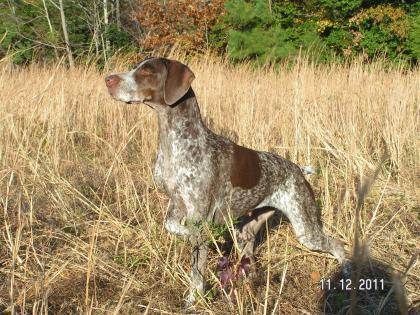 Windstorm's German Shorthaired Pointers