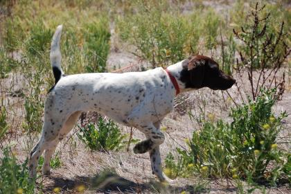 HUNTING DOG Kennels