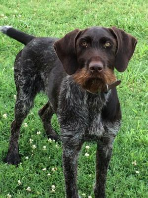 Devil's Mountian Wirehairs