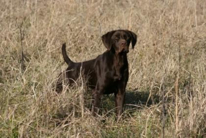 ARC  German Shorthairs
