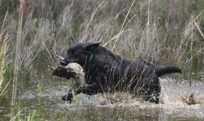 Abercrombie Labradors