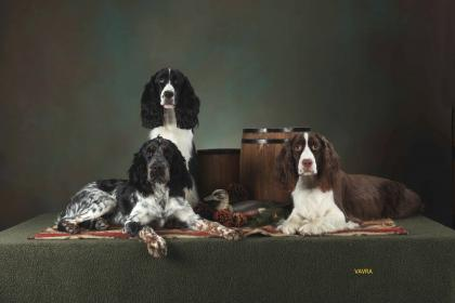 English Springer vom King-Charles