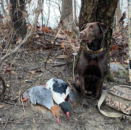 Timber Ridge Retriever's