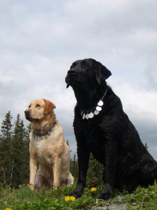 Copper River Labradors
