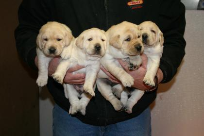 Hunters Choice Labradors
