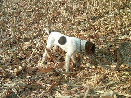 MINNESOTA GERMAN WIREHAIRED POINTERS