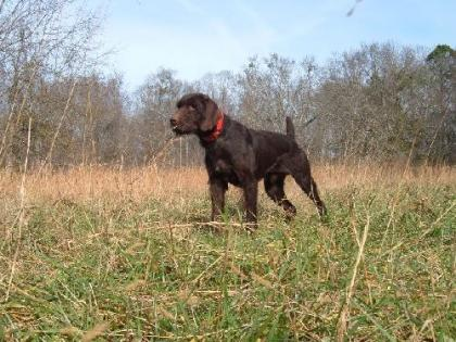 Wildwire German Wirehaired Pointers
