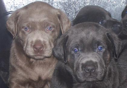Charcoal And Silver Labs