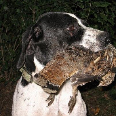 Rock Dove Publications - English Pointers
