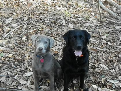 Creek Nation LABRADORS