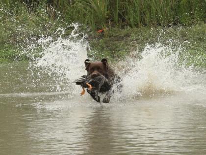 Hartland Labradors of Texas