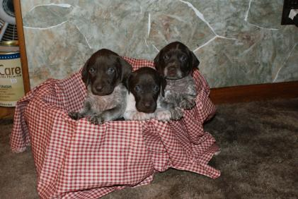 sand hill's gun dog's