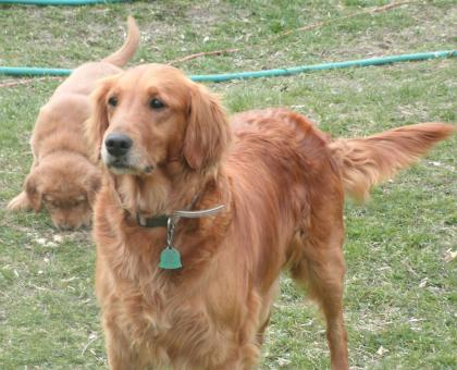 Crossfire Retriever