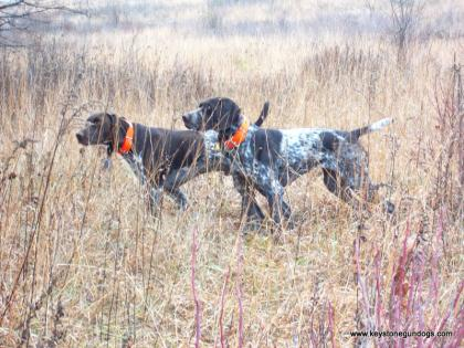 Keystone Gun Dogs