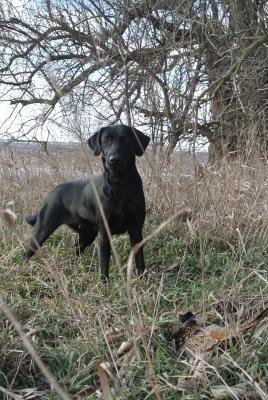 Mackinaw Valley Labradors