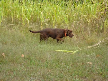 Pinhook Labradors