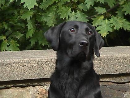Labradougherty Labrador Retrievers