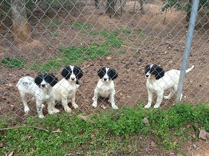 Spotted English Setters